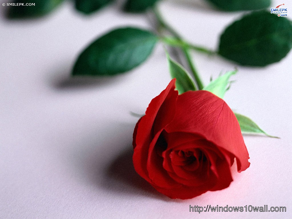 beautiful red rose for someone you love wallpaper