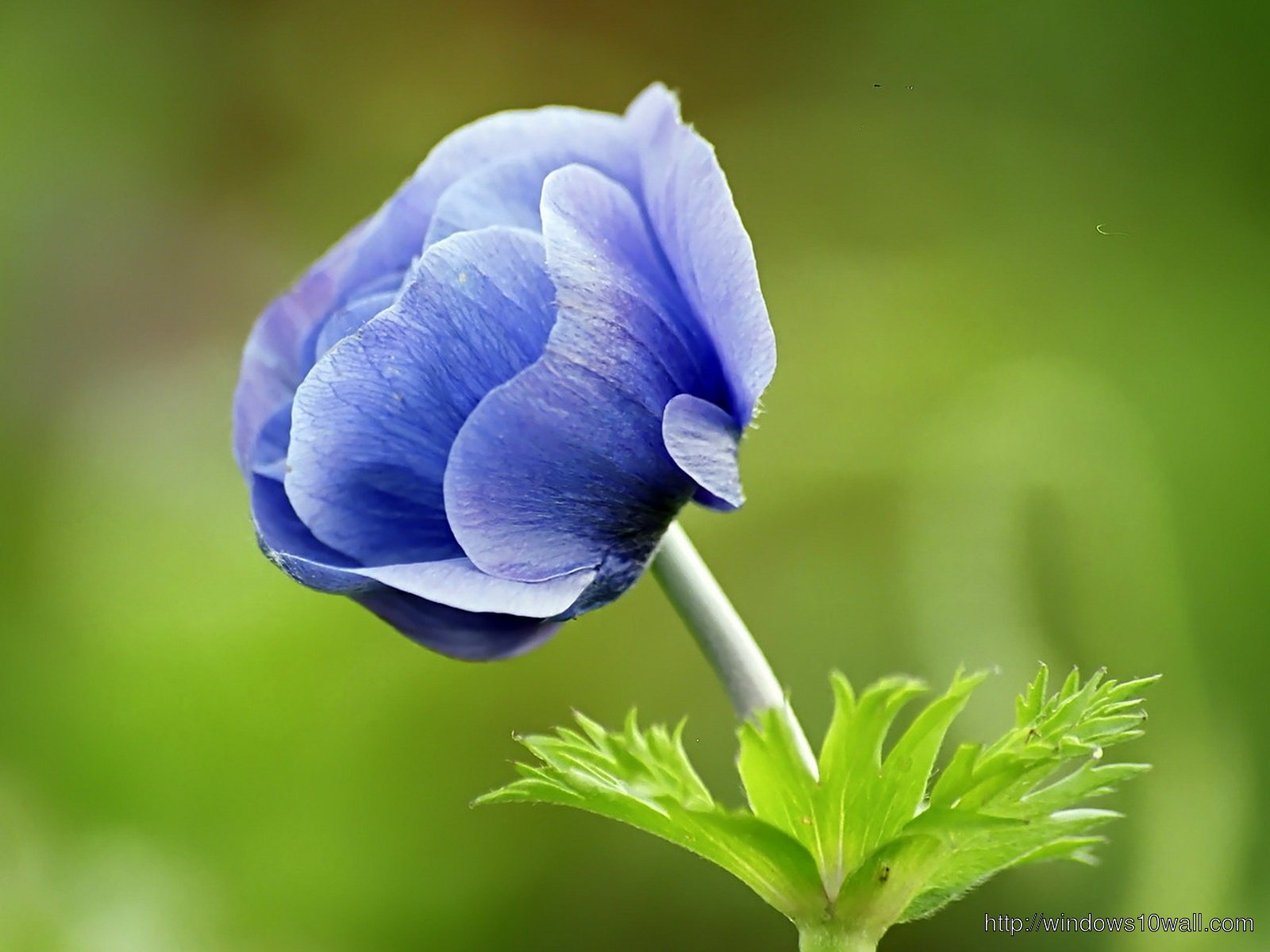 Narute Blue Flower Wallpaper For Desktop