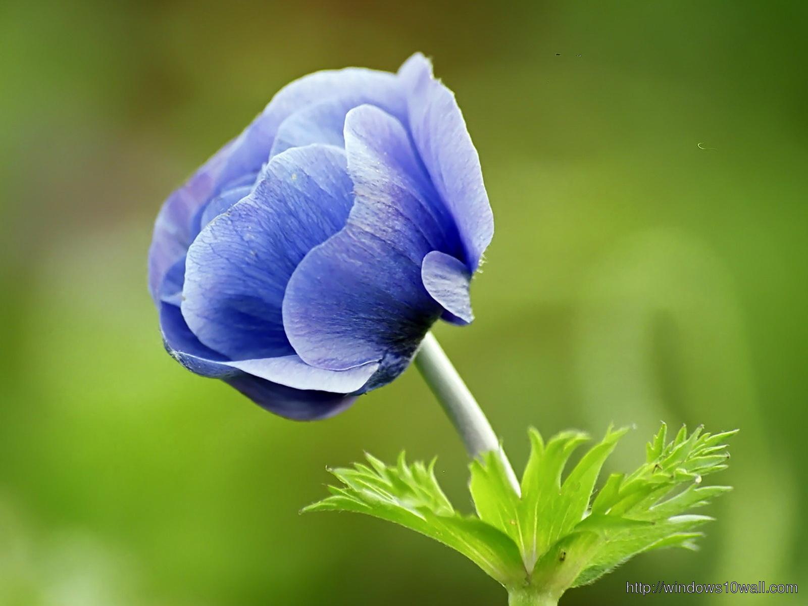 Narute Blue Flower Wallpaper For Desktop