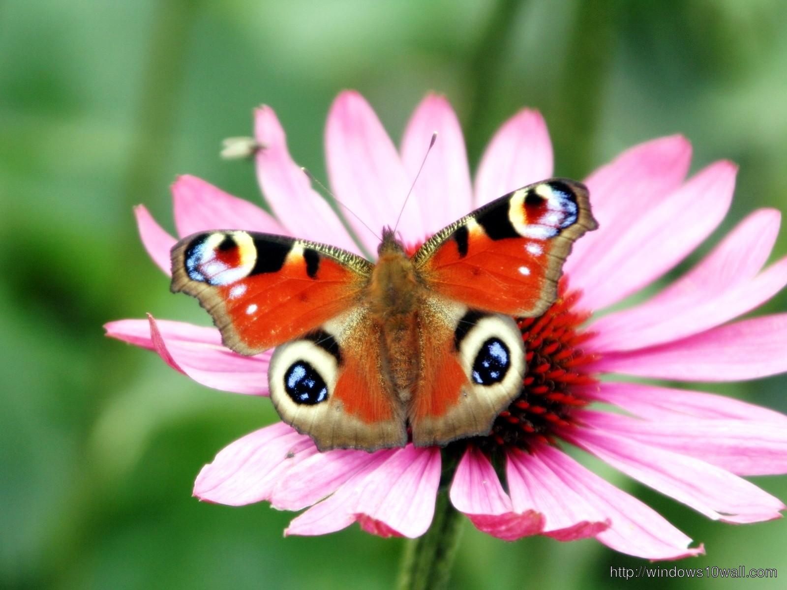 Peacock Butterfly Flower Wallpapers Hd Free Download
