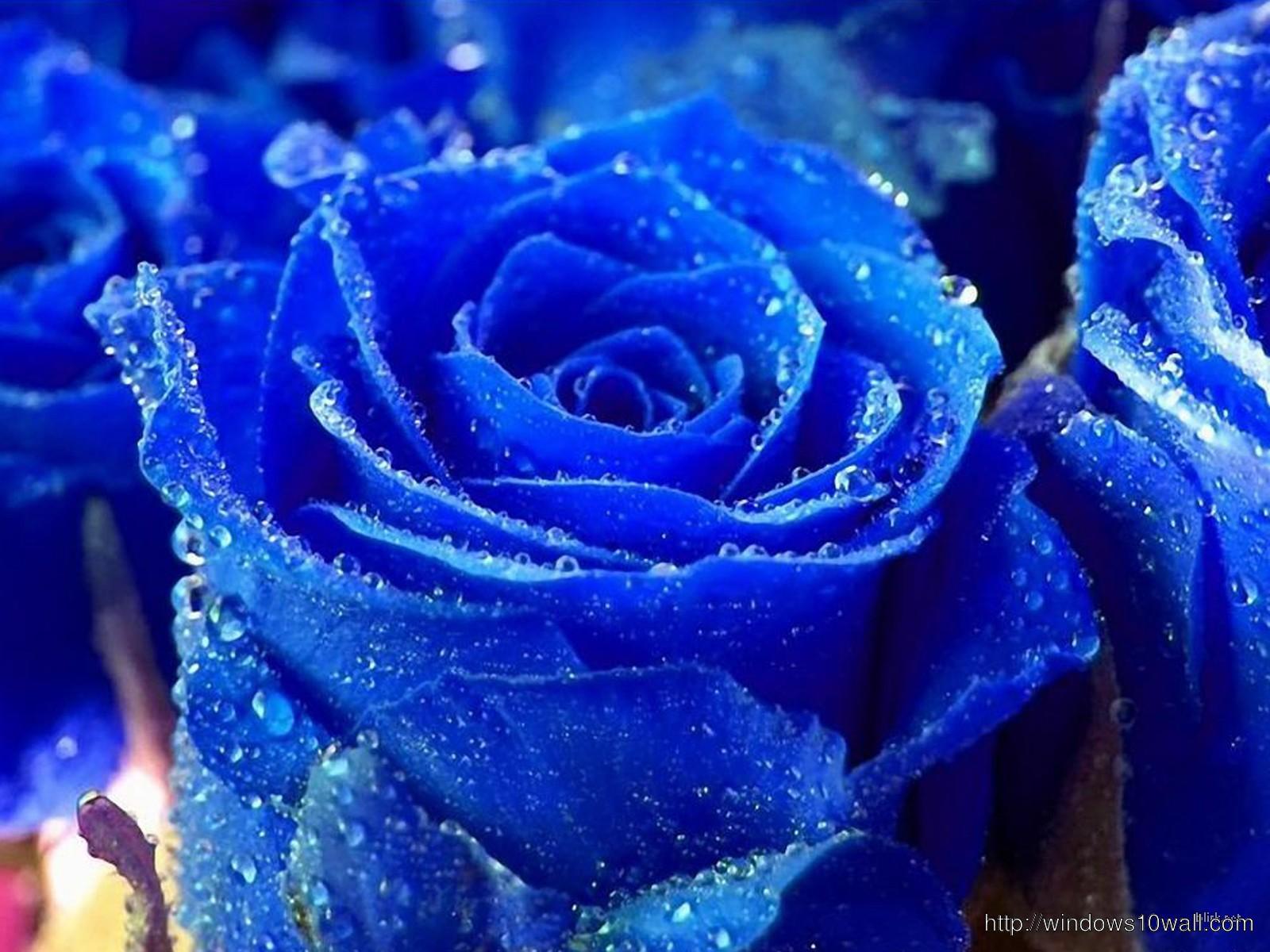 Beautiful Blue Rose Wallpapers Free Download For Desktop