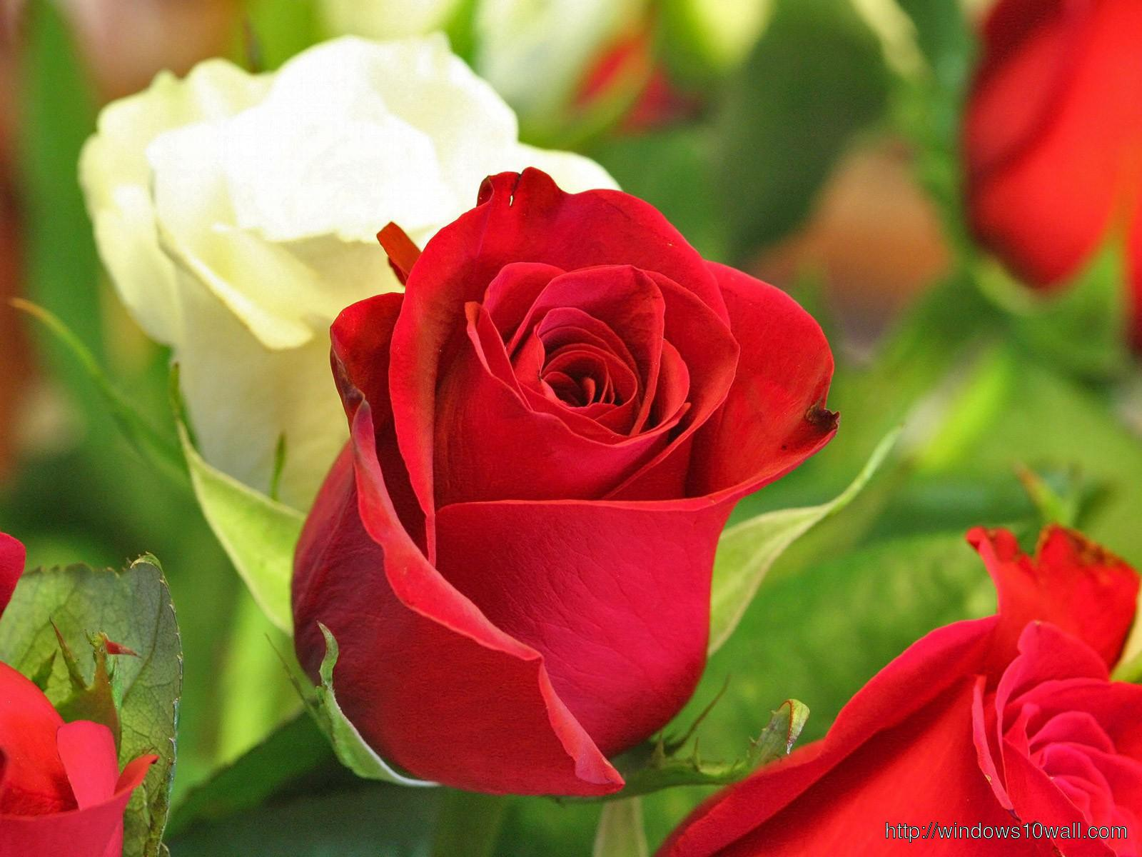 beautiful love rose flower wallpaper