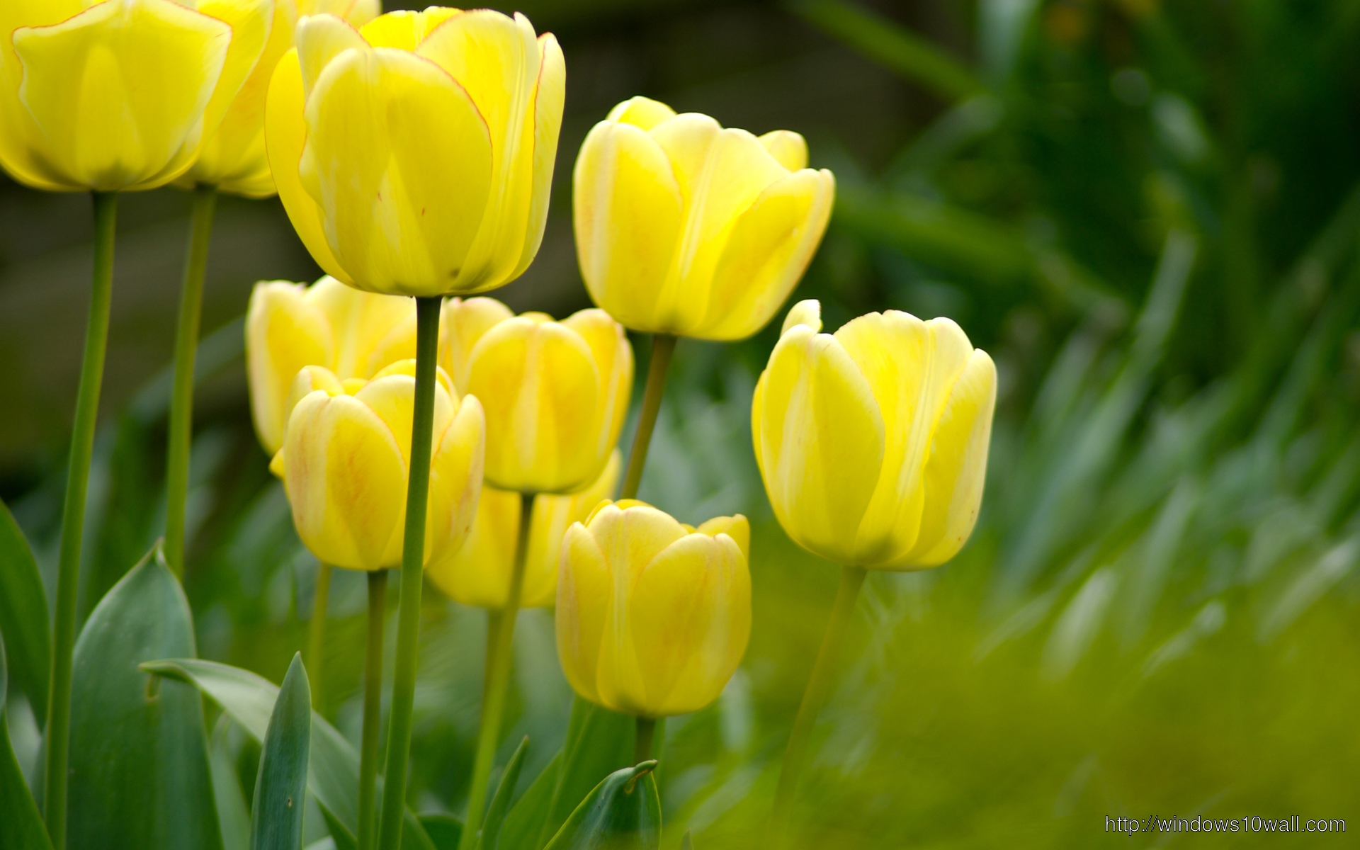 Tulip Flower Wallpaper free download - windows 10 Wallpapers