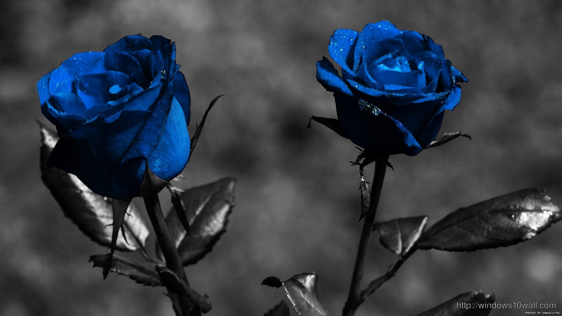 Sexy Blue Rose Flower Picture Windows 10 Wallpapers