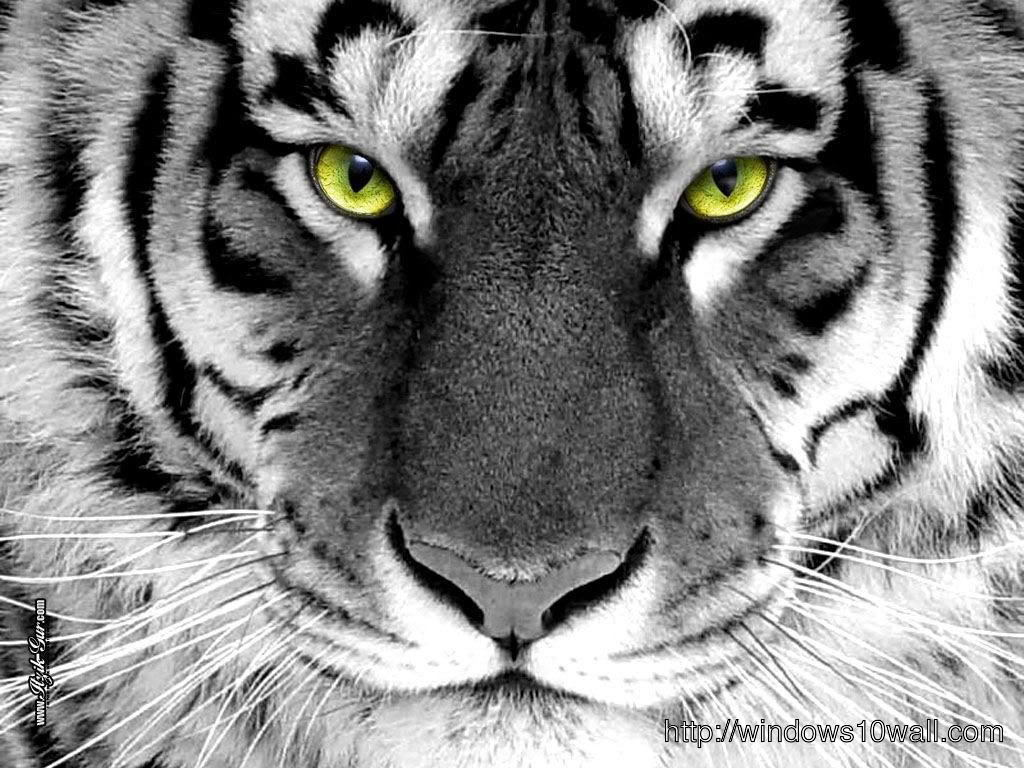 Close Up White Tiger Wallpaper