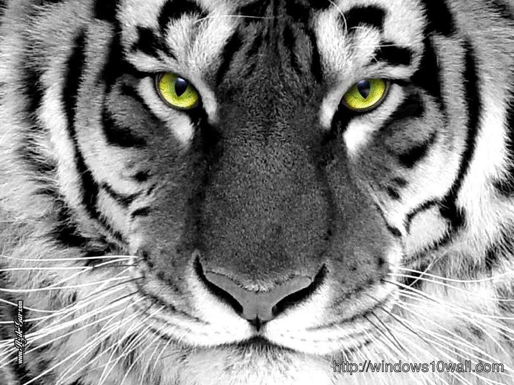 Close Up White Tiger Wallpaper