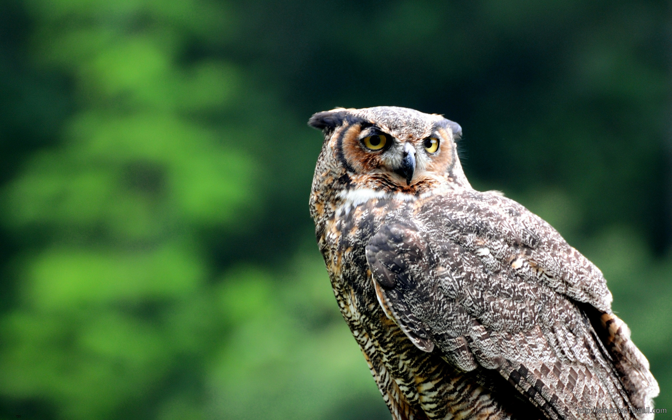 Owl Free HD Wallpapers