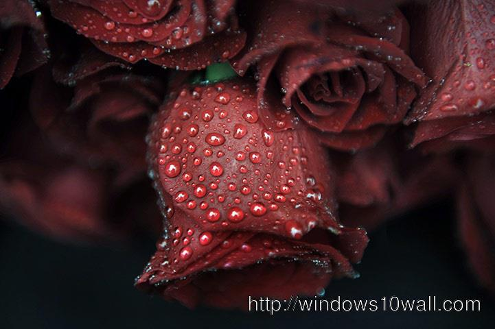 Drops on the Rose