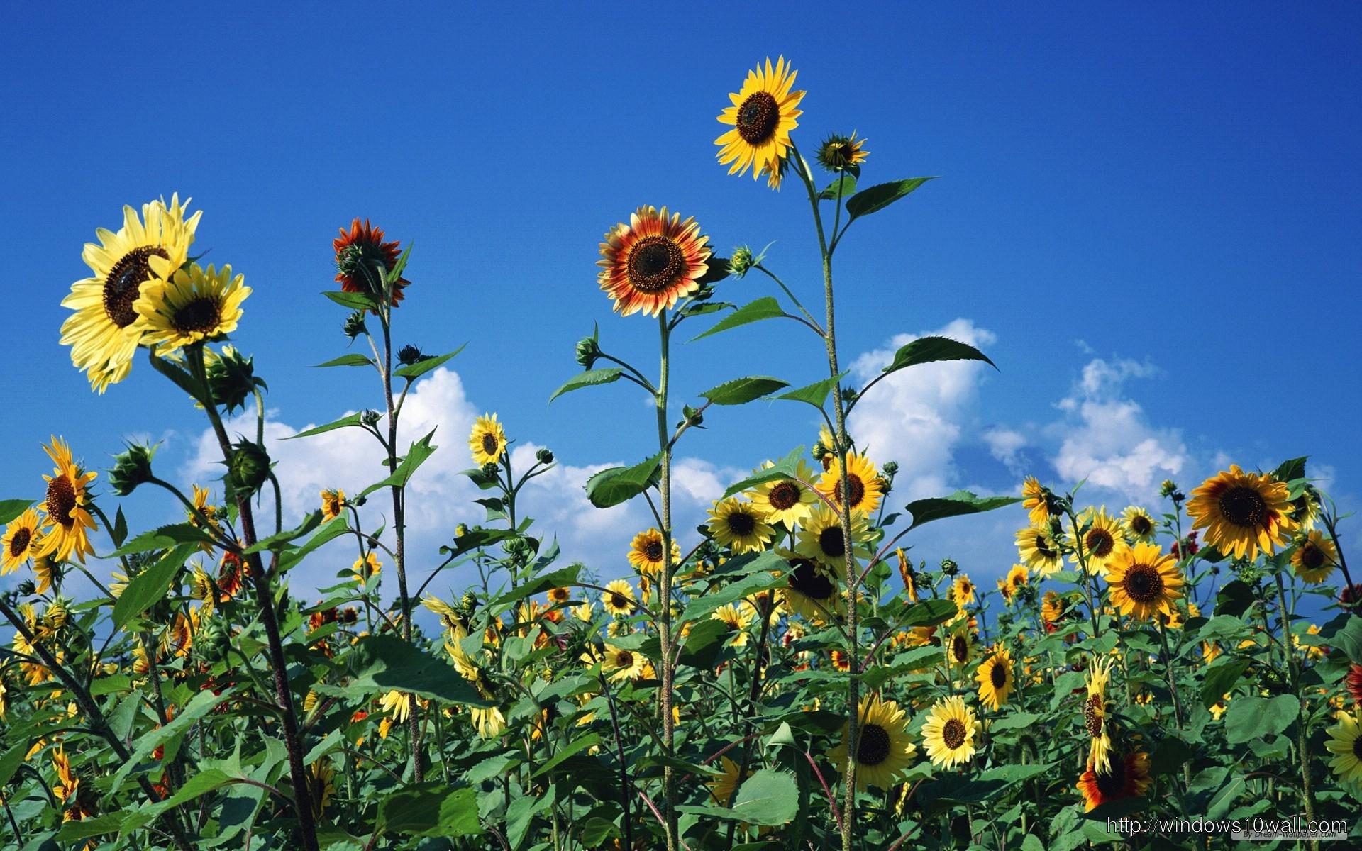 Flower Sunflower Wallpaper Windows 10 Wallpapers