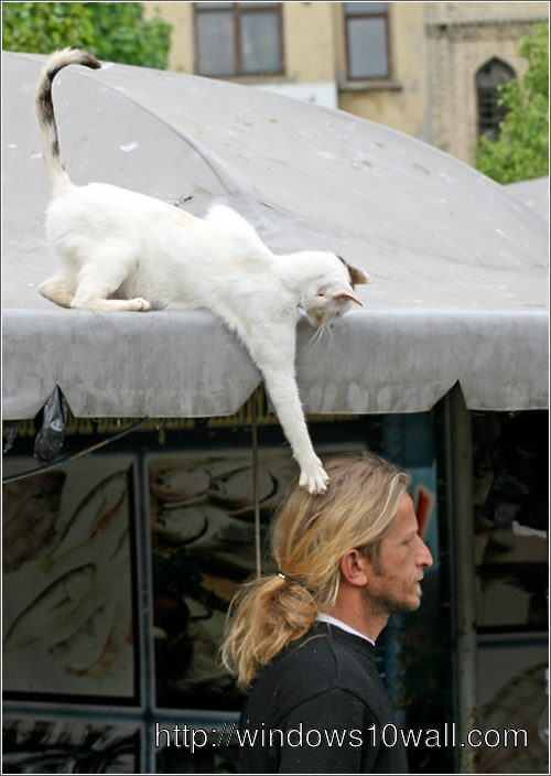 Very Funny Cat Messing with Man Hairs on the Road Wallpaper