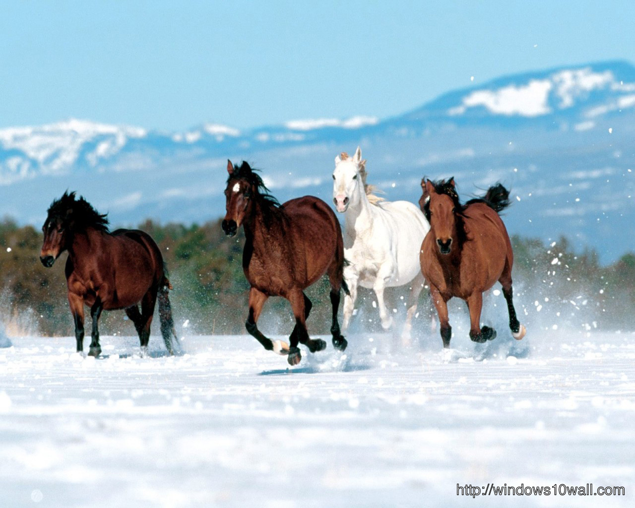 Beautiful Horses Running In Snow Background Photo