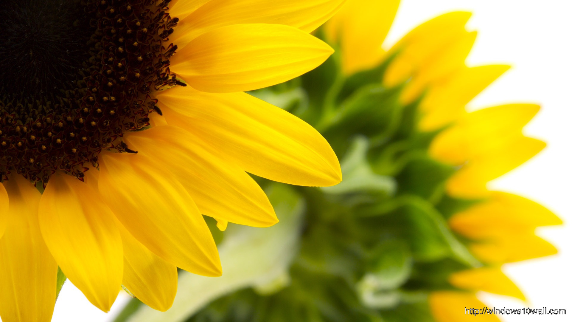 Sunflower Wall Paper for your Desktop