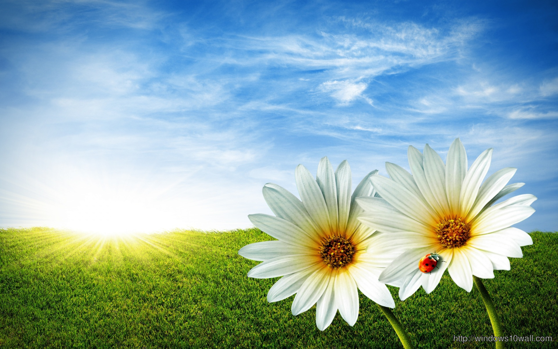 White Fowers in Sunflower Background Wallpaper