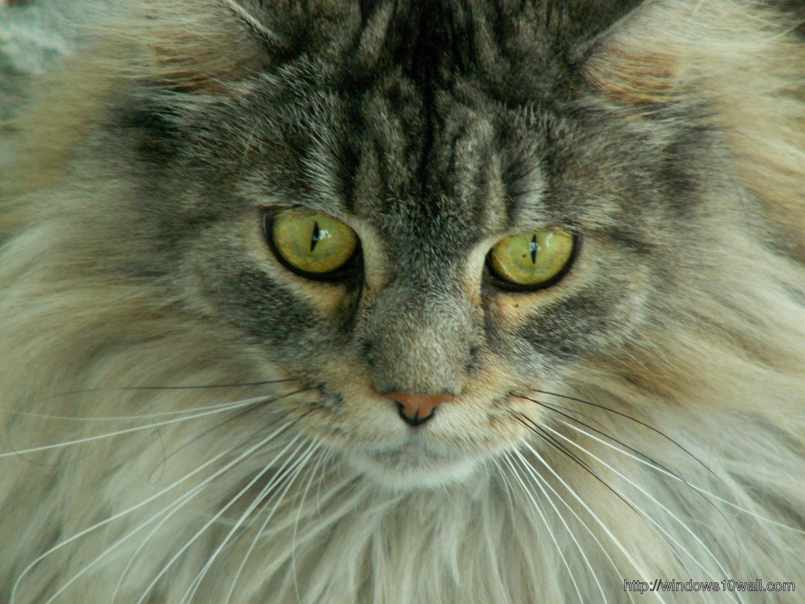 Angry Maine Coon Cats Pictures