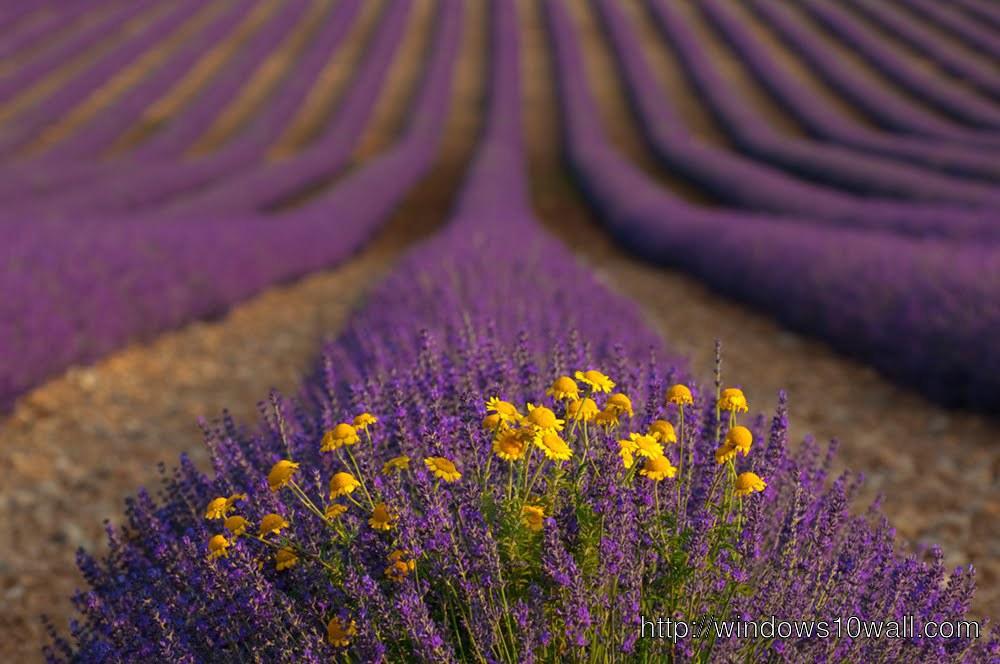 Lavender Waves Free Background