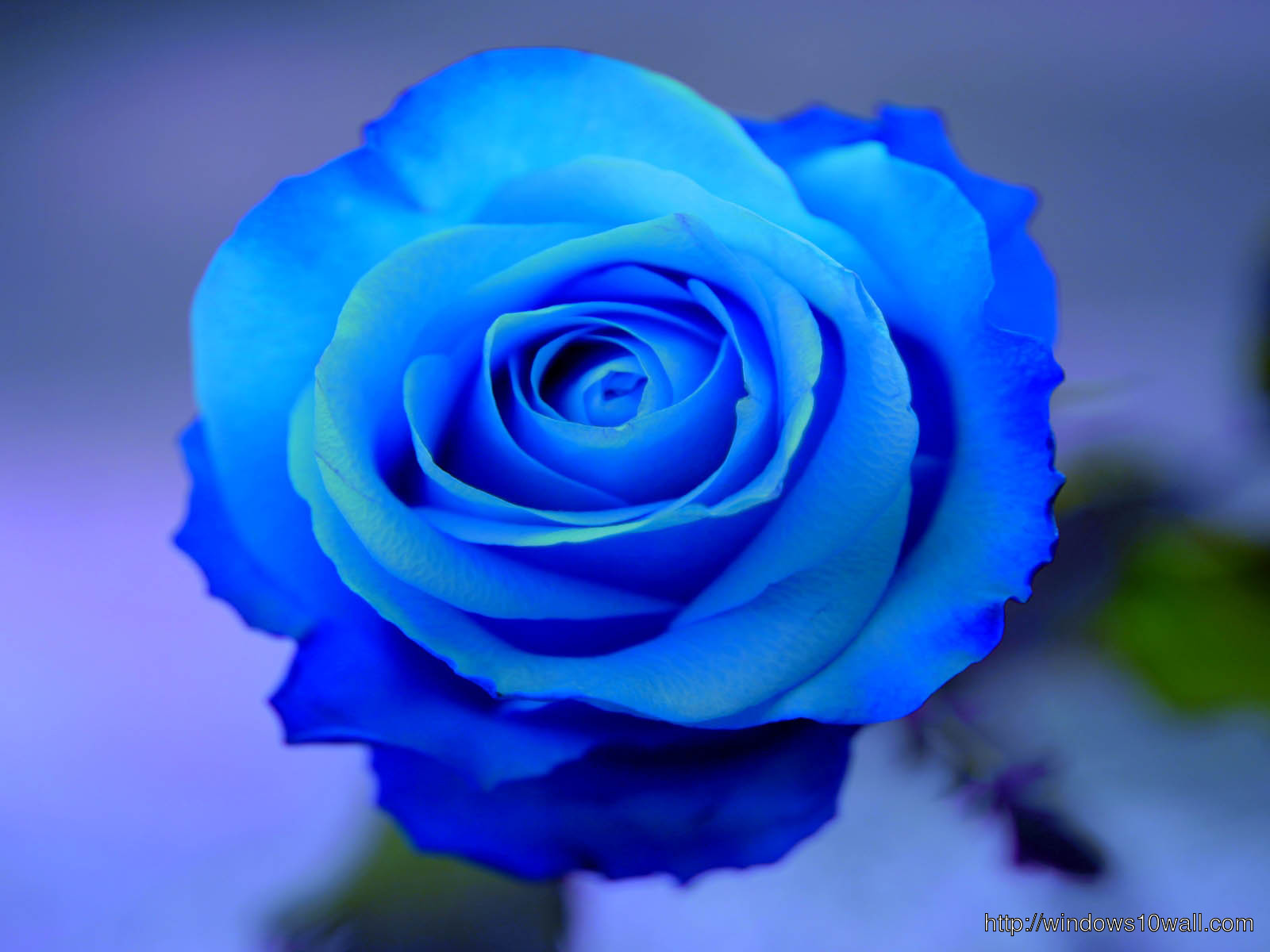 Blue Rose HD Wallpaper  windows 10 Wallpapers - Baby Boy Hairstyles