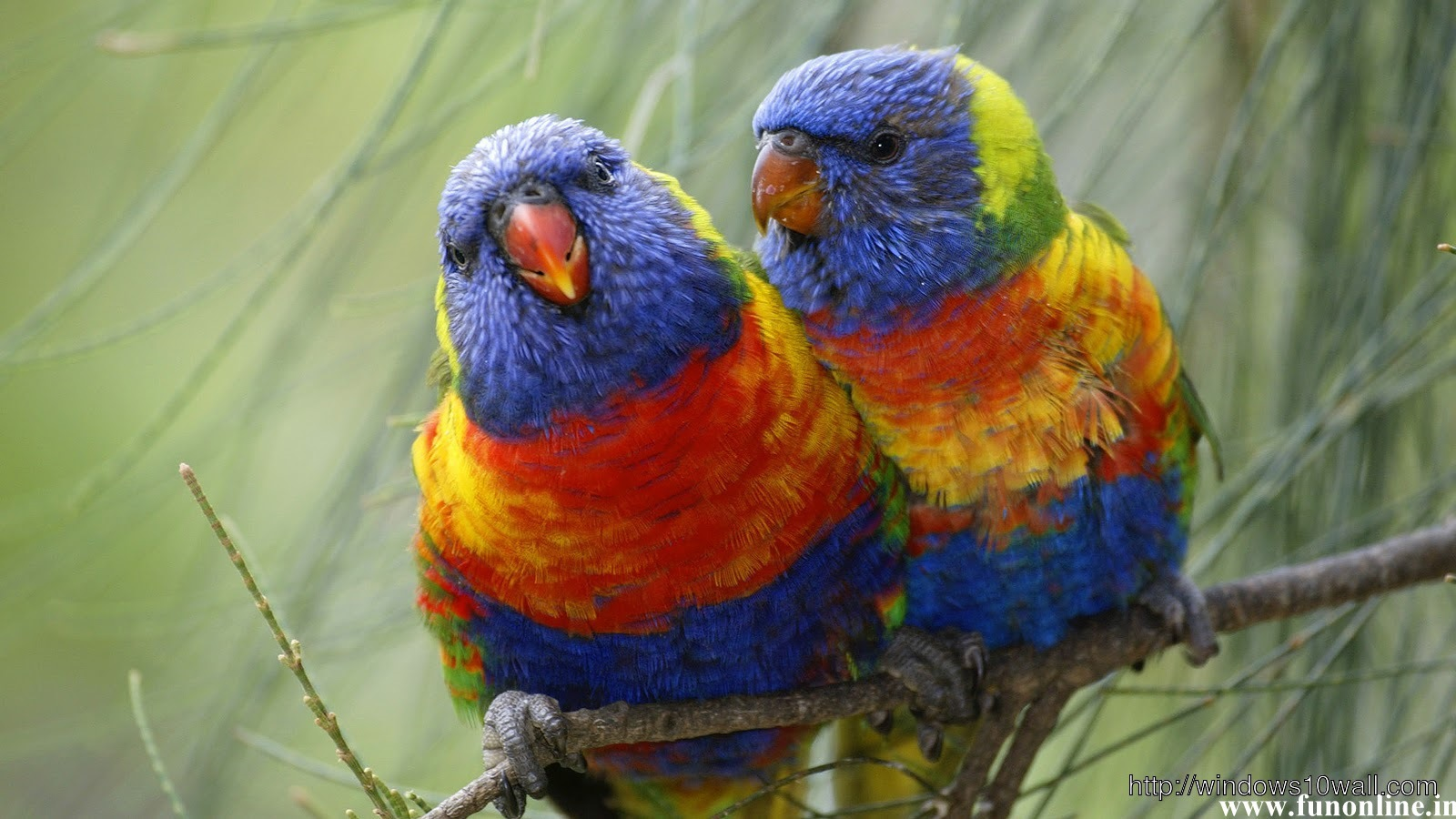 Colorful Pair Of Parrot Hd Wallpaper Windows 10 Wallpapers