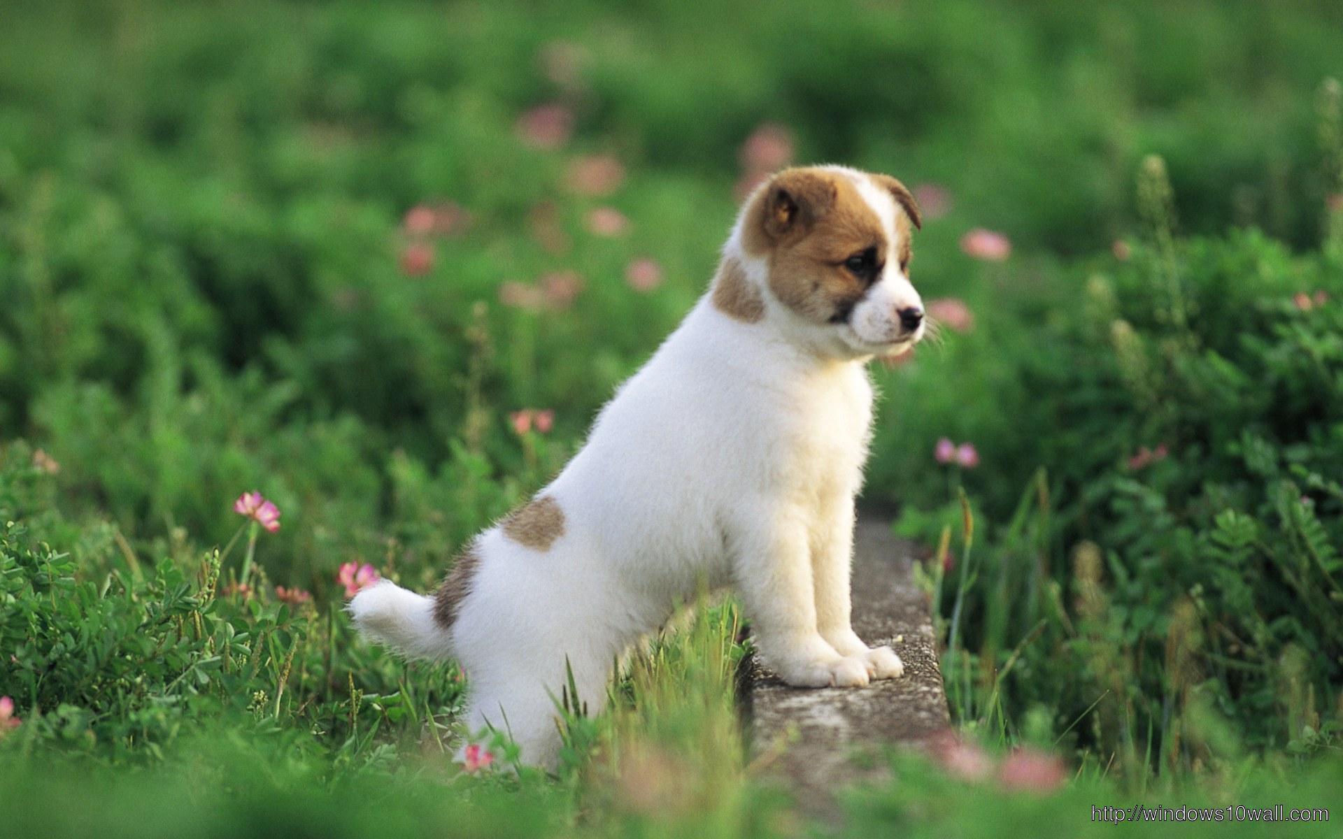 Cute-Puppy-Small-Dog-HD-Free-Wallpaper