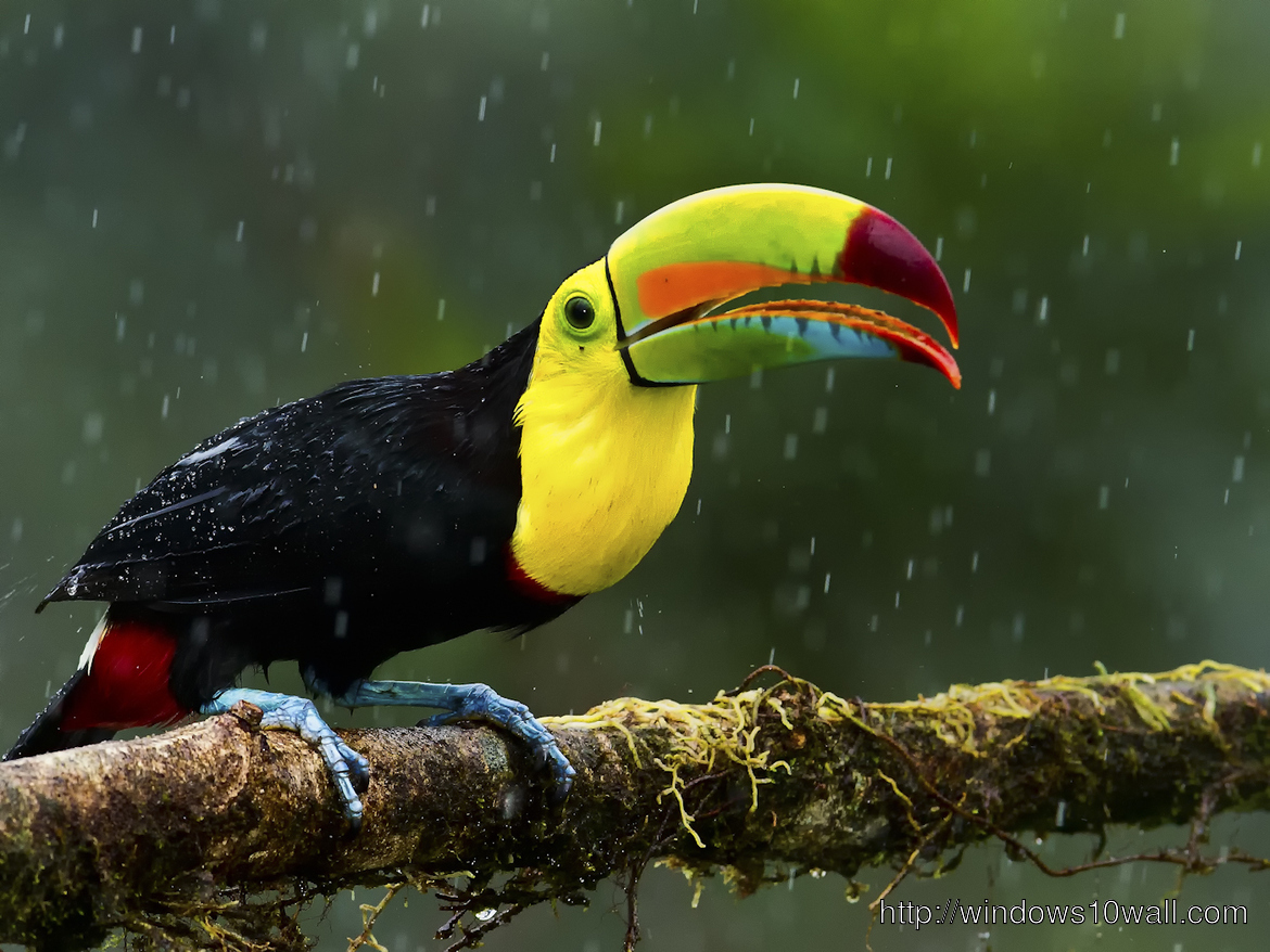 Keel-Billed-in-Rain-HD-Free-Download-Wallpaper
