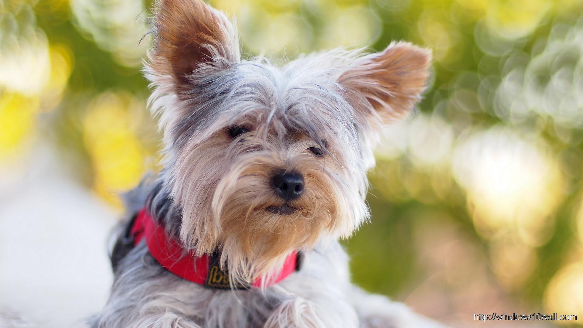 Schnauzer Dog Hd Cool Background Wallpaper Windows 10 Wallpapers