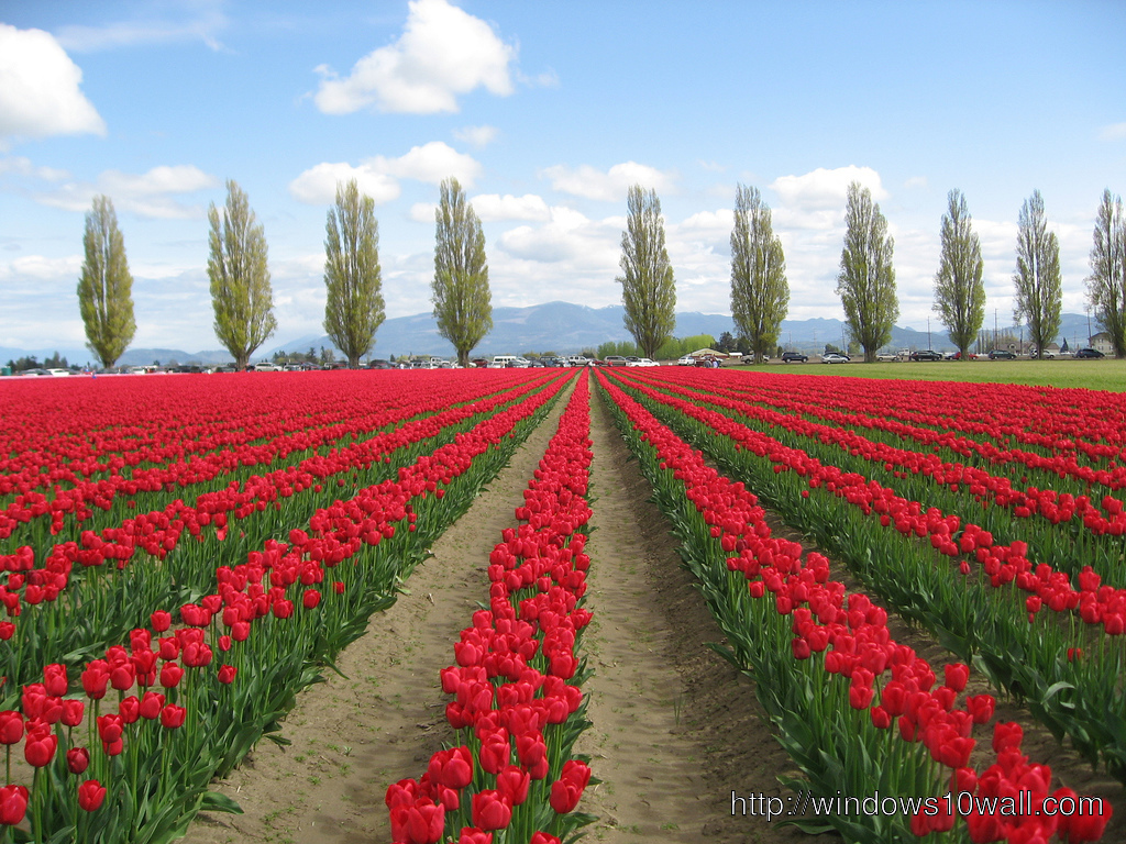 Tulip Fields Netherlands Awesome Wallpaper Windows 10
