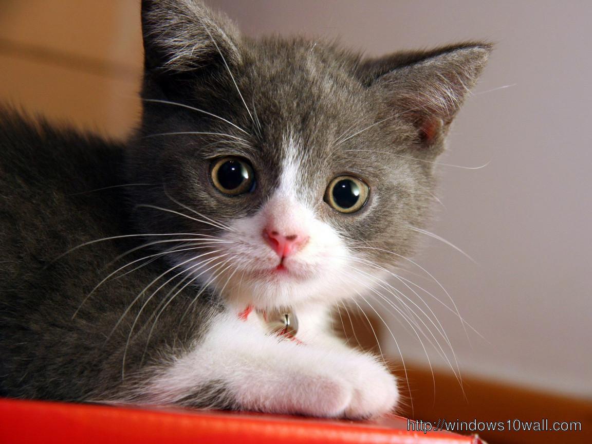 Animals Cats Small Cat Hd Wallpaper Windows 10 Wallpapers