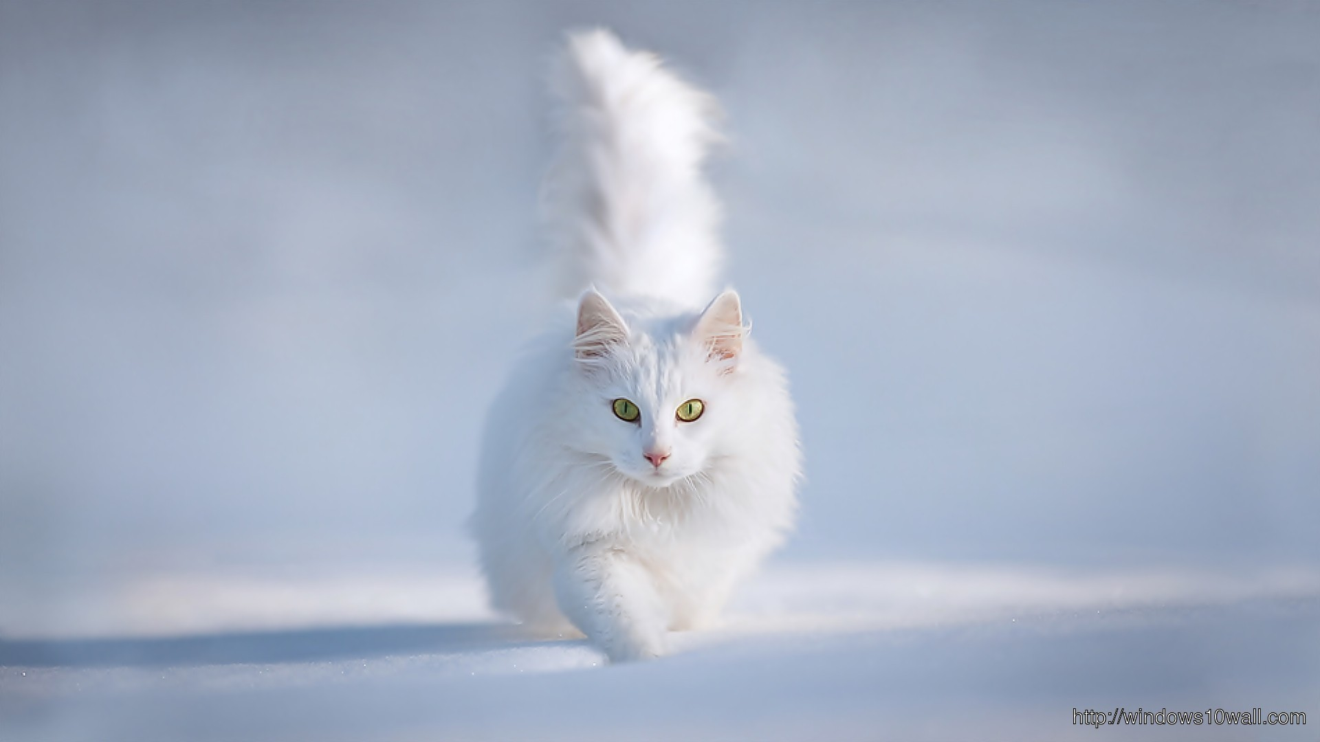Animals Hdwallpaper Cute White Cat Hd Wallpaper Windows 10 Wallpapers