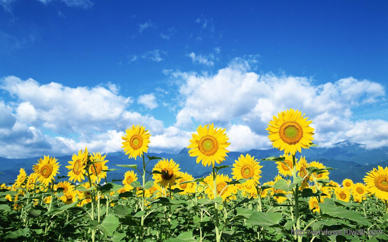 Beautiful Sunflower Hd Wallpaper Windows 10 Wallpapers