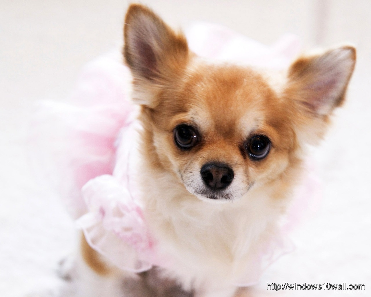chihuahua-puppy-cool-hd-Wallpaper