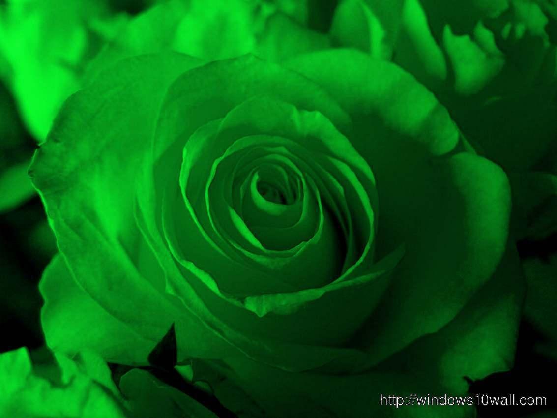 green-rose-closeup-hd-Wallpaper
