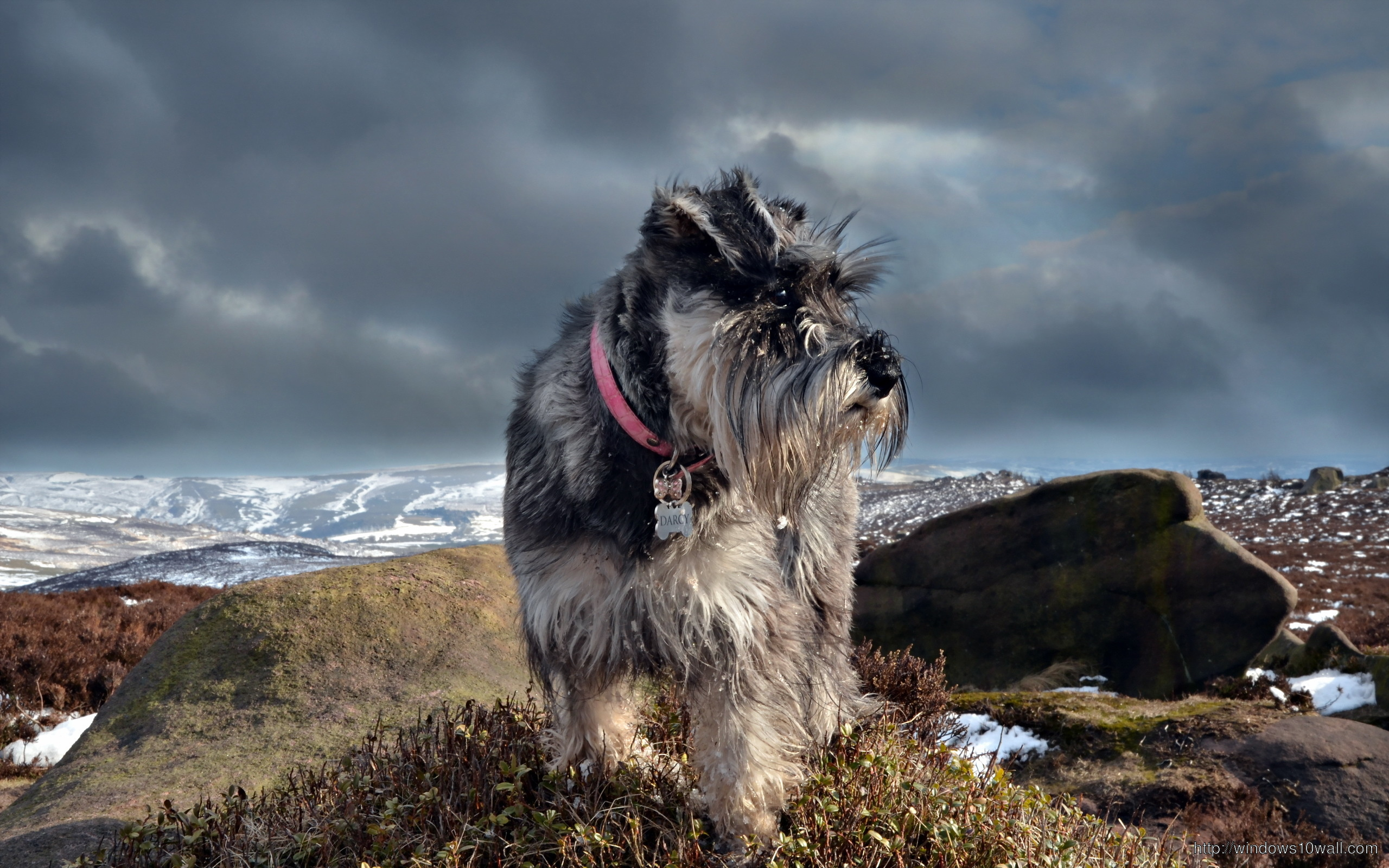 Schnauzer Dog Images Hd Background Wallpaper Windows 10