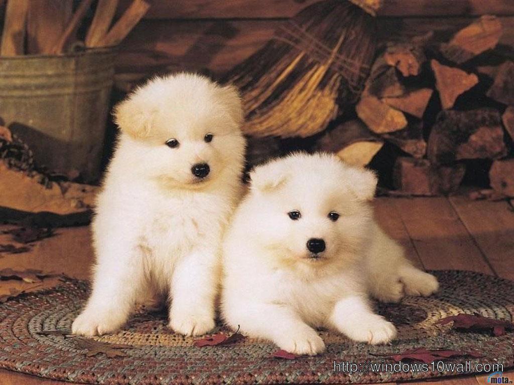 sweet couple dogs akita inu hd background wallpaper - windows 10