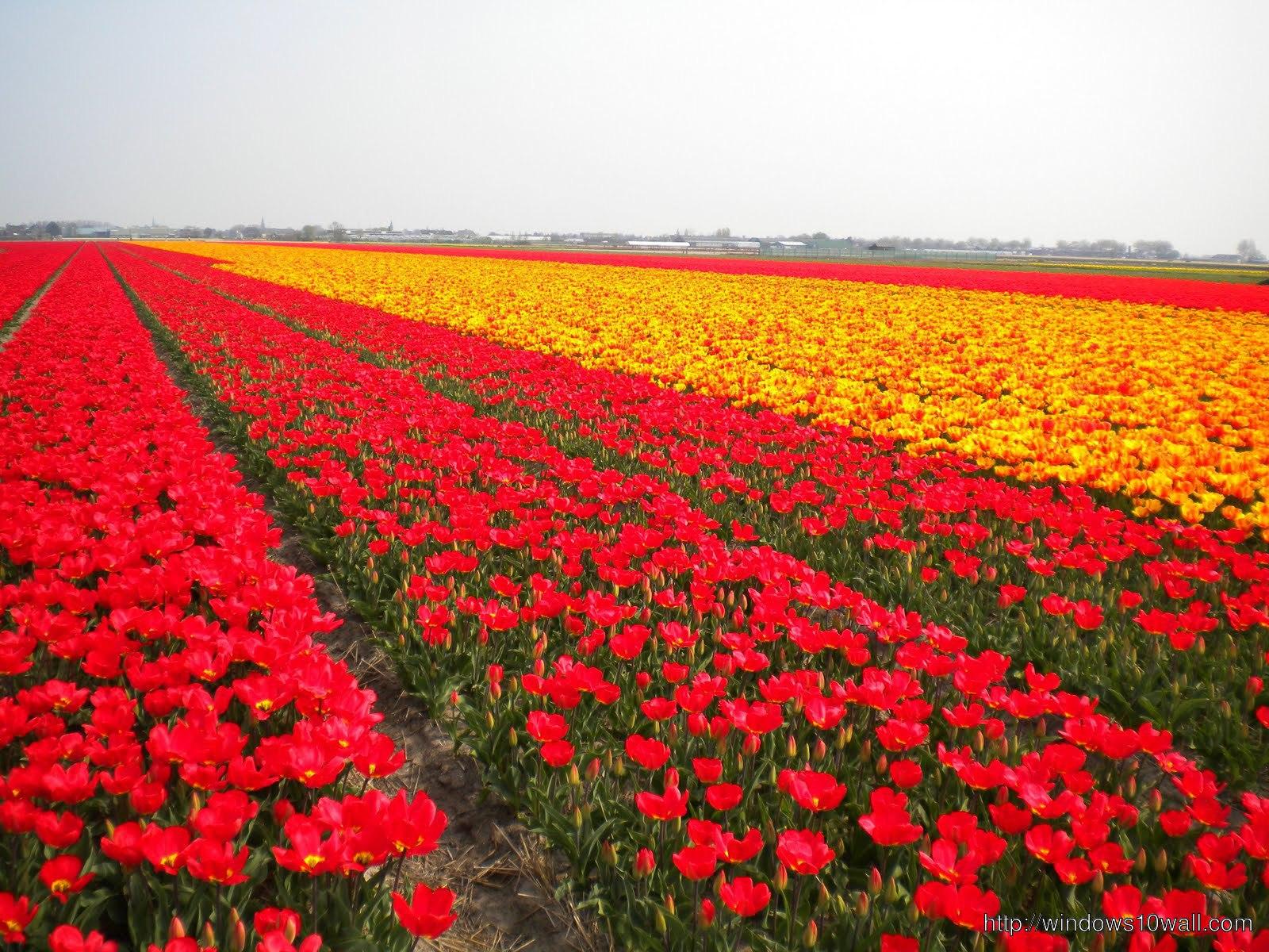 tulips-in-holland-4-field-hd-Wallpaper