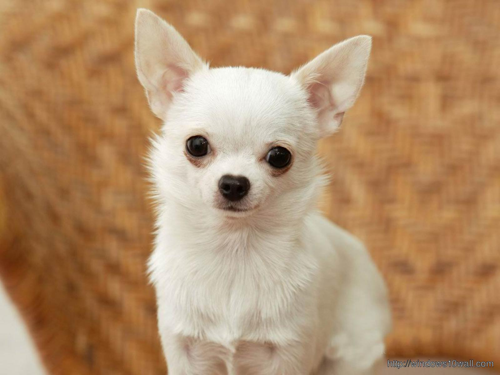 white-chihuahua-puppies-full-hd-Wallpaper