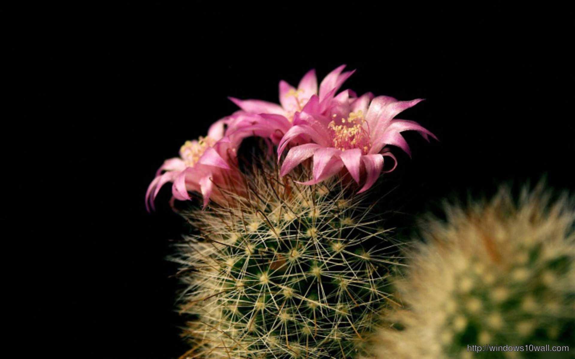 Beautiful Cactus Pink Flower Wallpaper Windows 10 Wallpapers