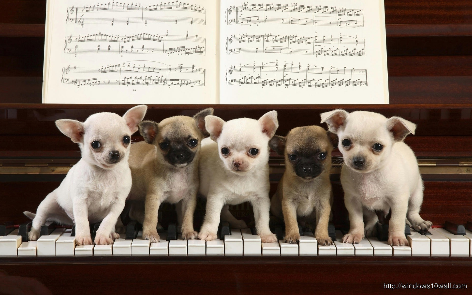 Dog Playing Piano Funny Wallpaper - windows 10 Wallpapers