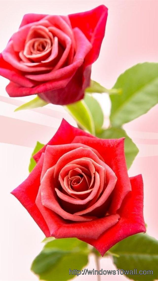Pink-Rose-Iphone-5-hd-wallpaper