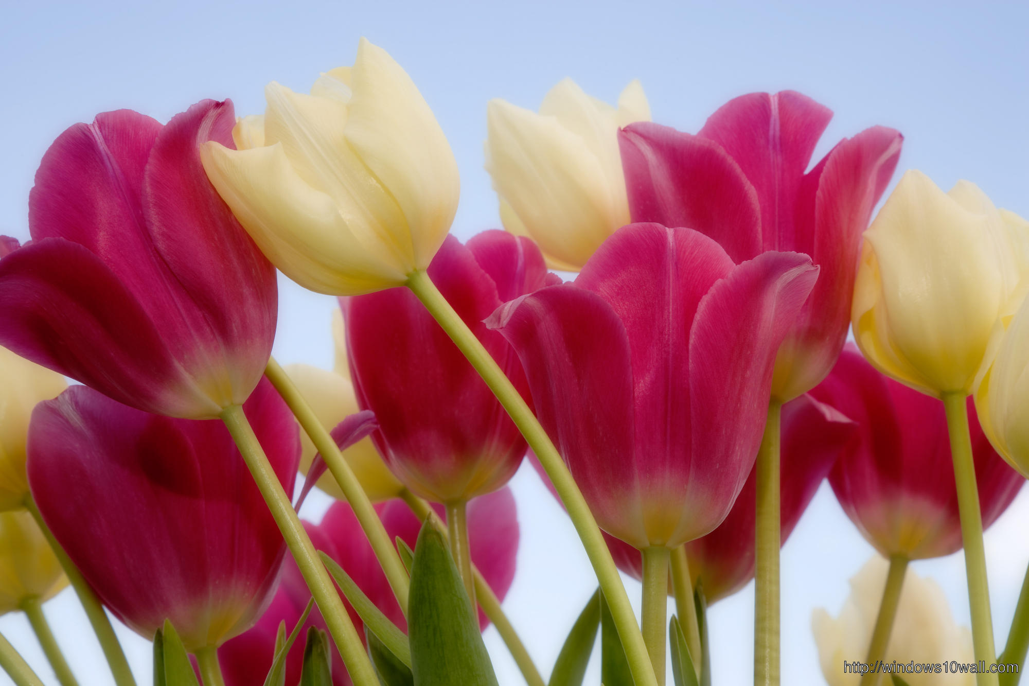 Pink-Tulips-Spring-Wallpaper
