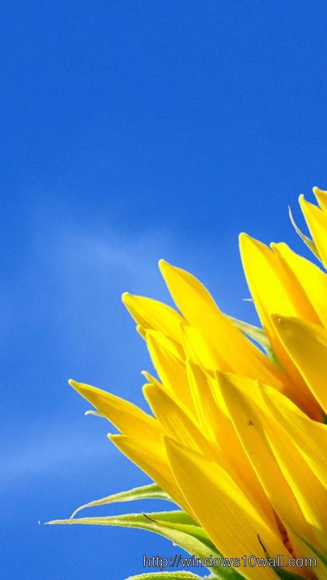 Sun-Flowers-Blue-Sky-Iphone-5-hd-Wallpaper