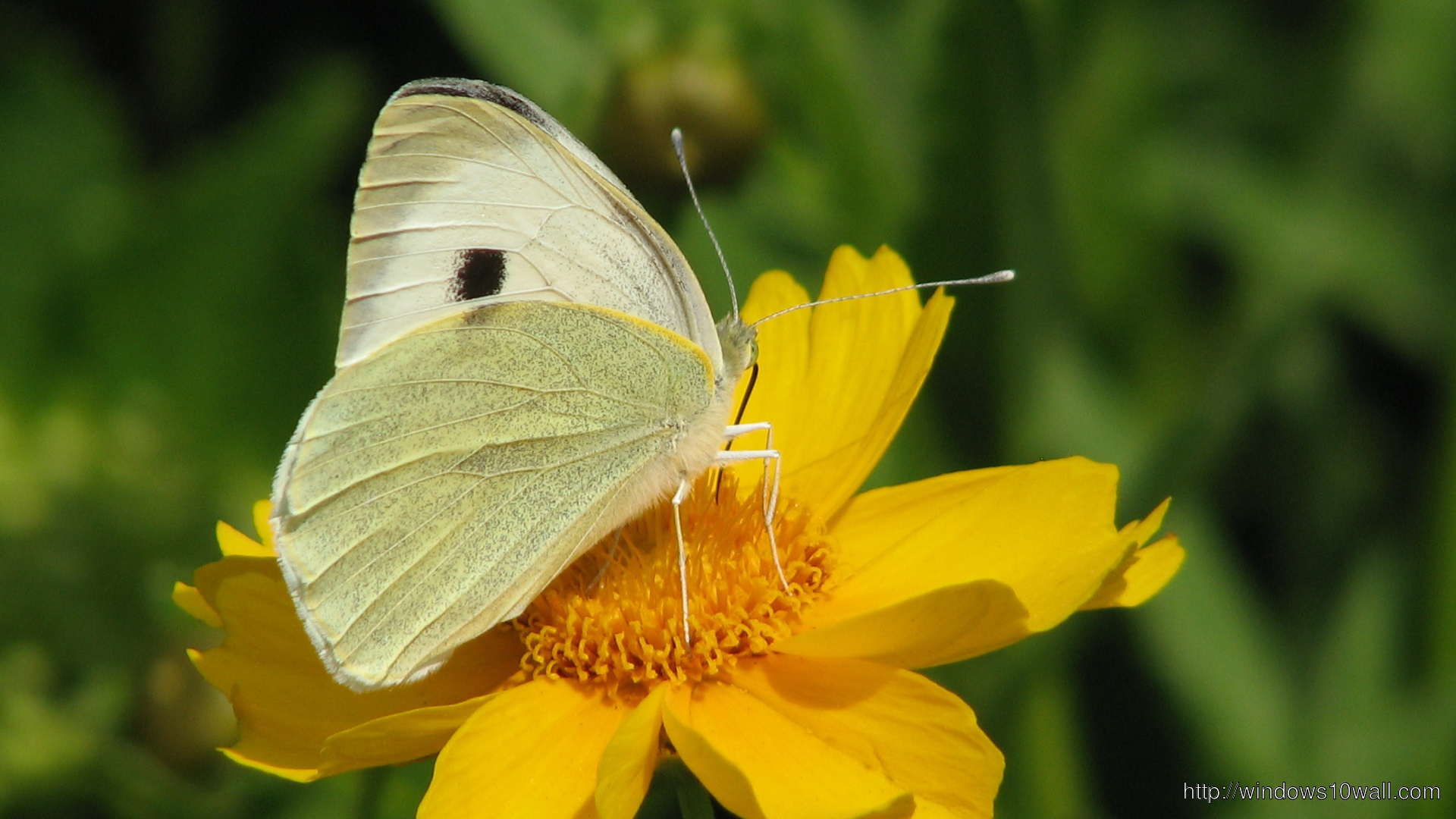 Butterfly page 4 windows 10 wallpapers for Butterfly on flowers