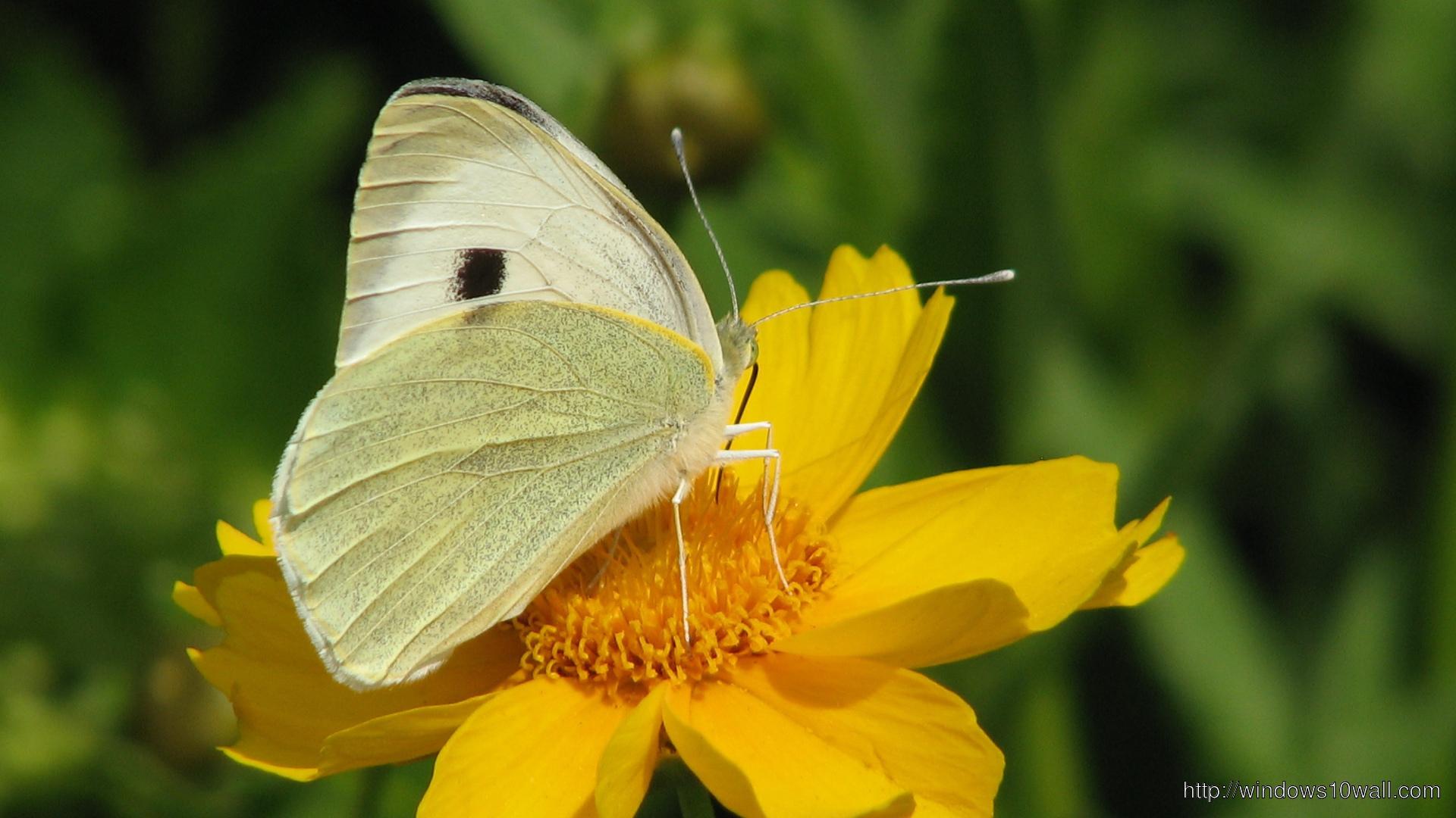 White Butterfly On Yellow Flower HD Wallpaper - windows 10 ...