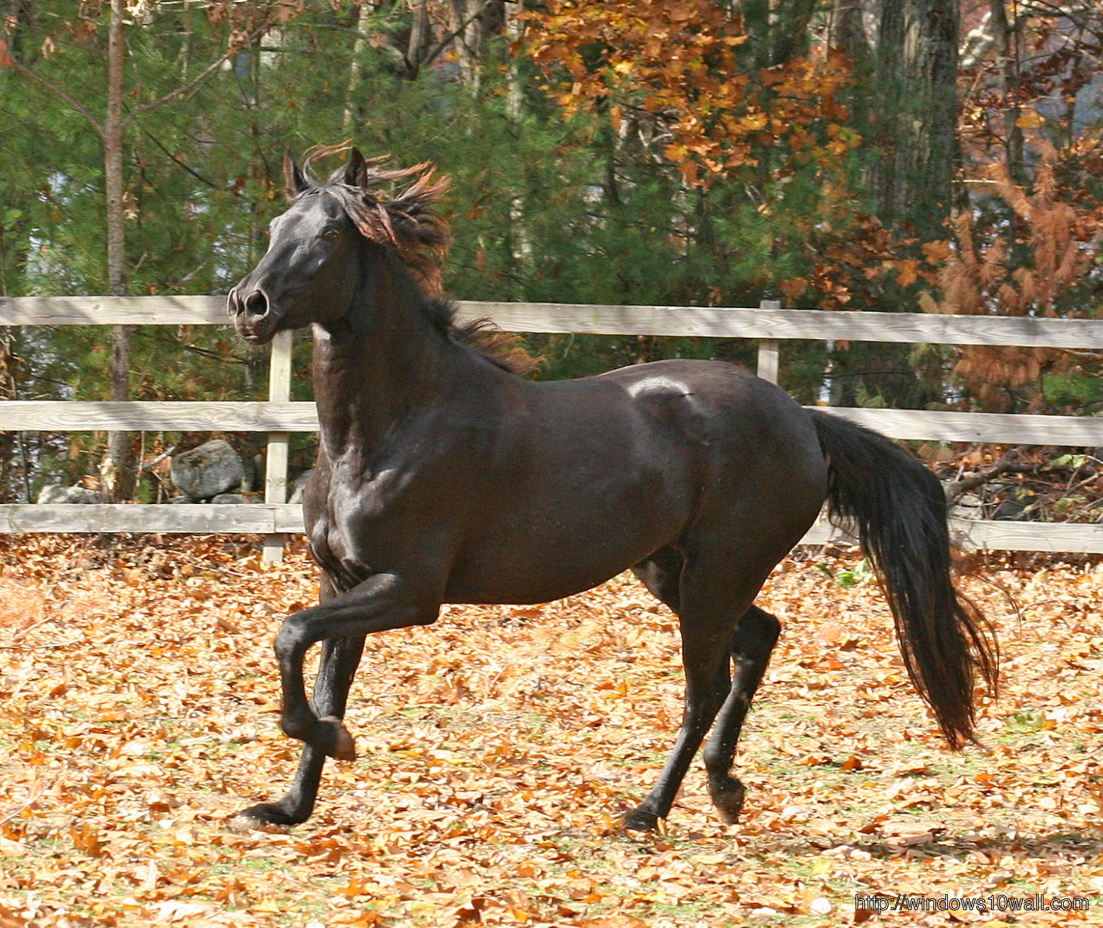 American Saddlebred Wallpaper