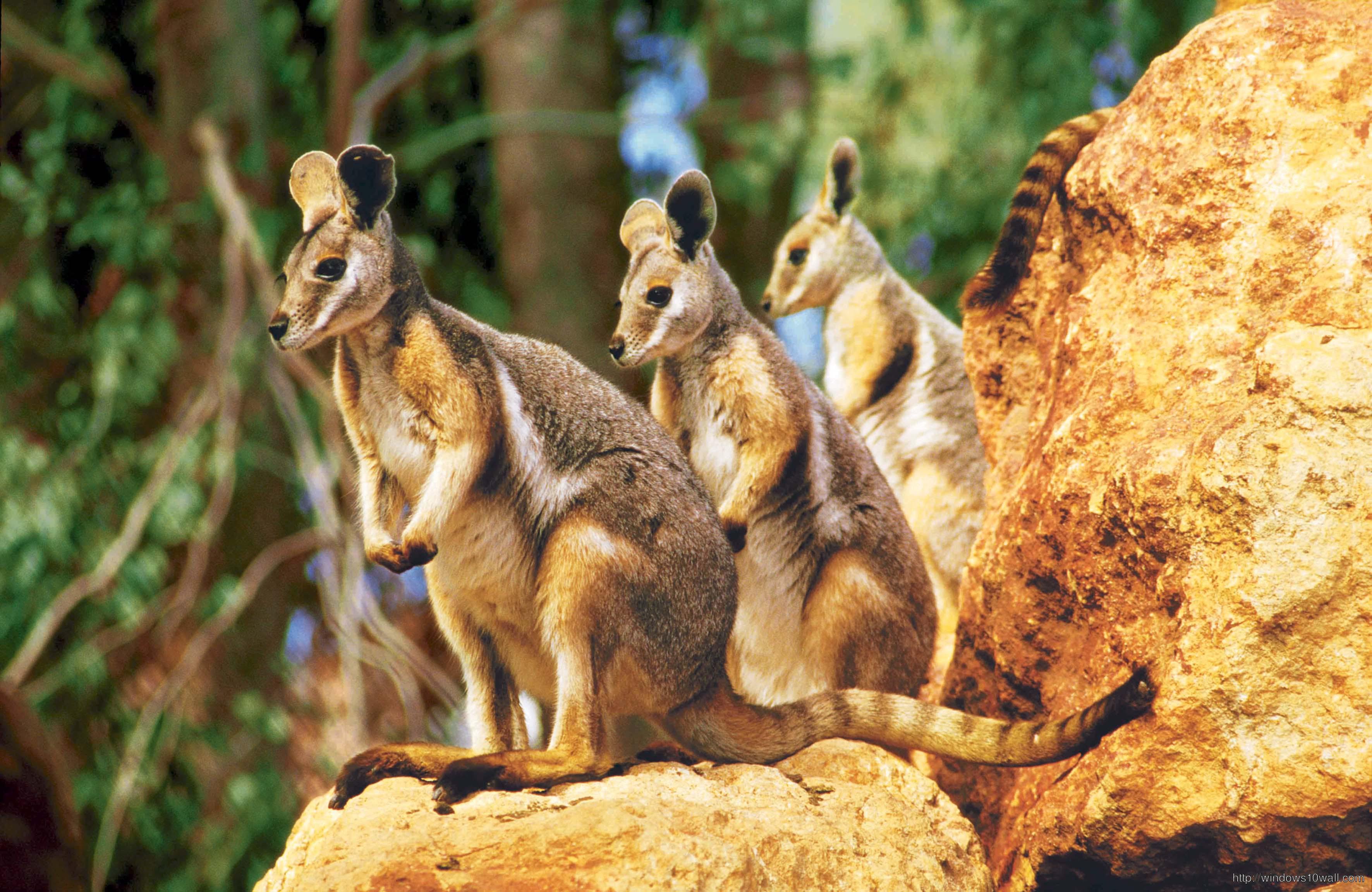 Animals Baby Kangaroos Wallpaper