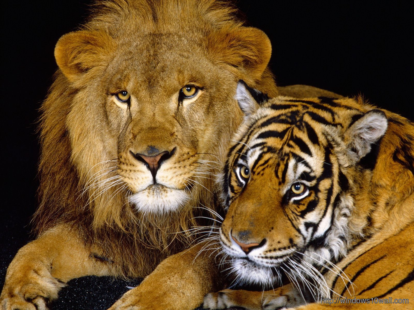 animals-lion-and-tiger-wallpaper