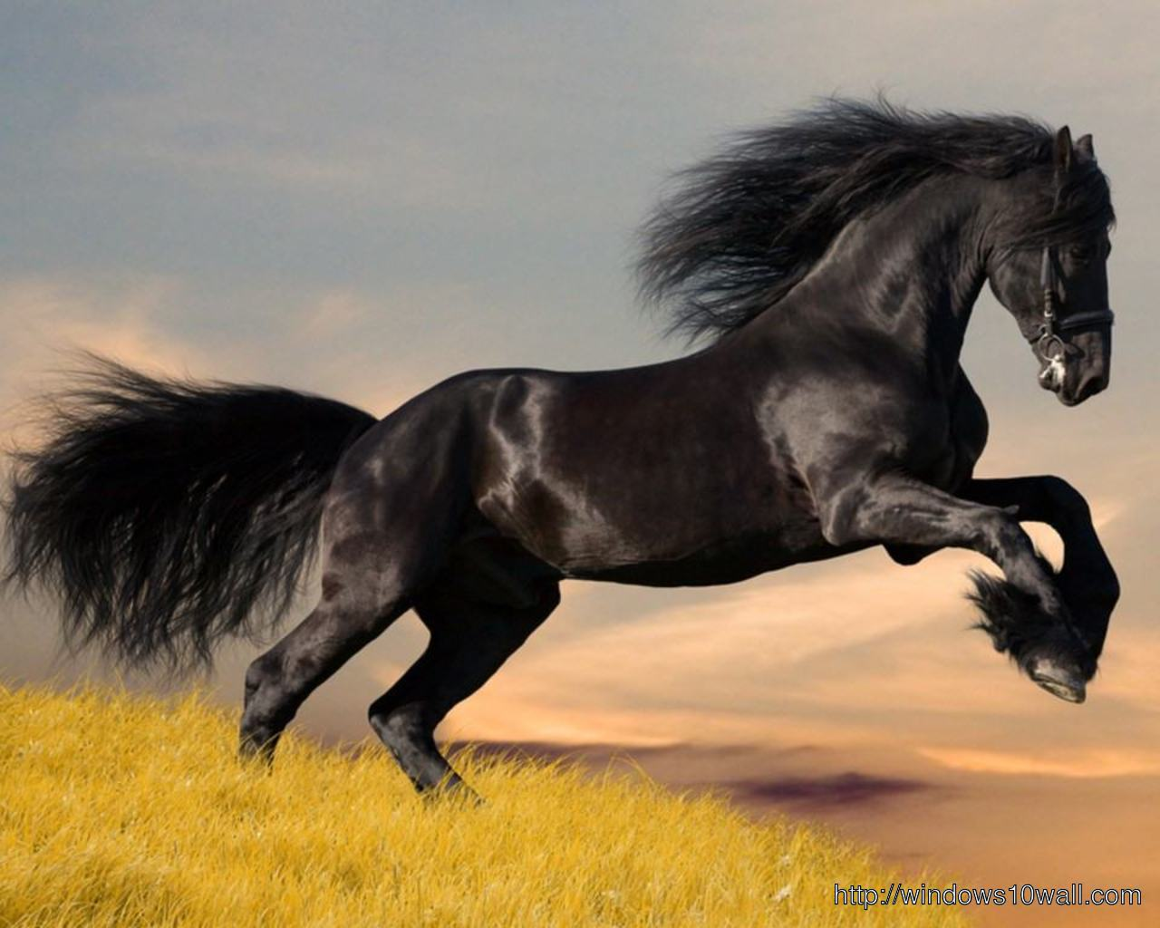 Arabian Horse Black Jumping Wallpaper Windows 10 Wallpapers