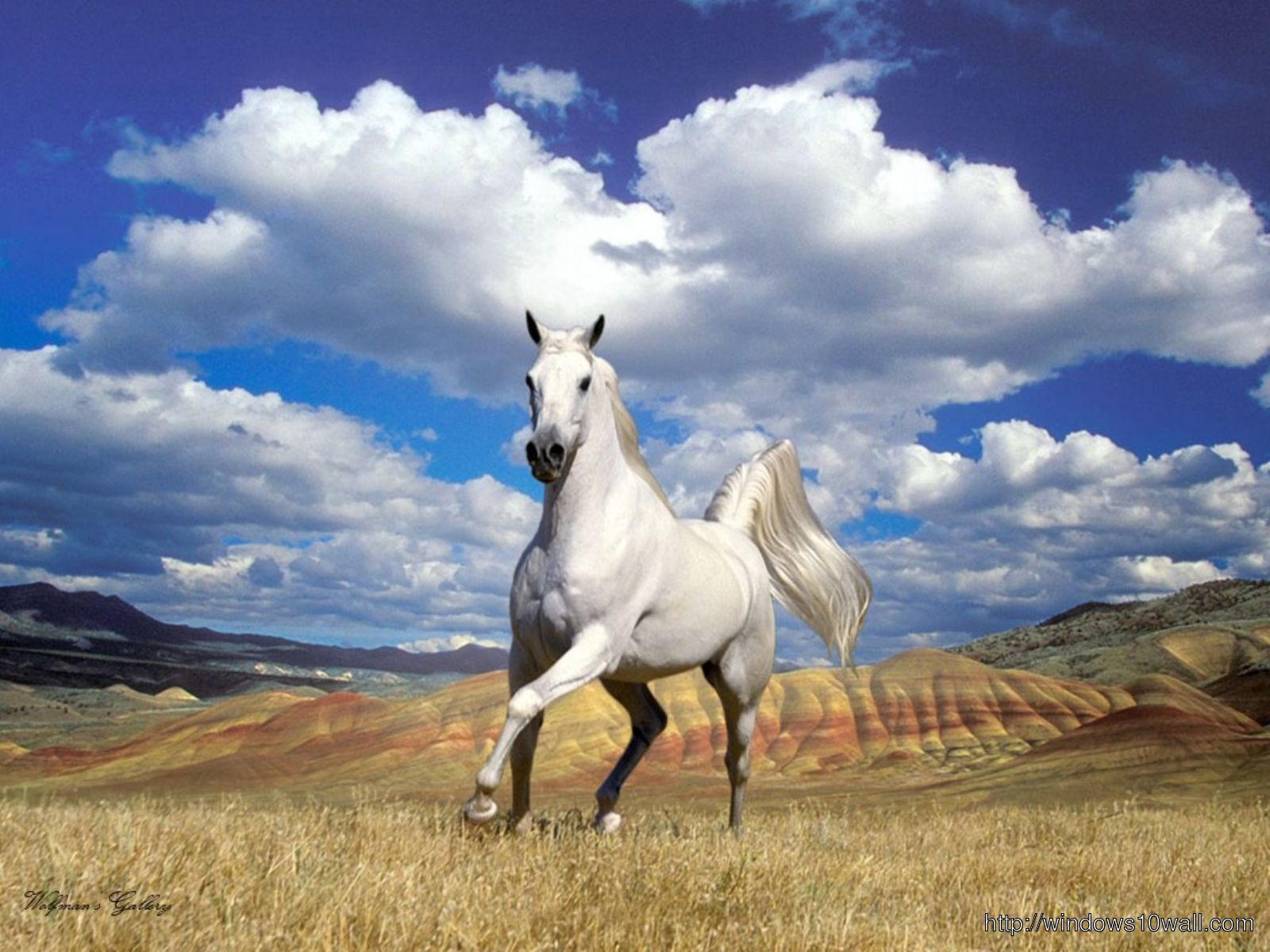 Arabian Horse White Wallpaper