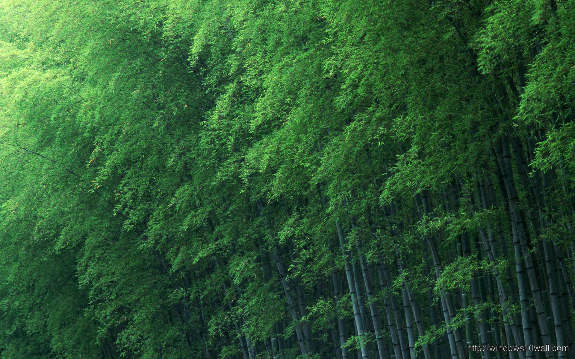 Bamboo Forest Green Wallpaper Windows 10 Wallpapers