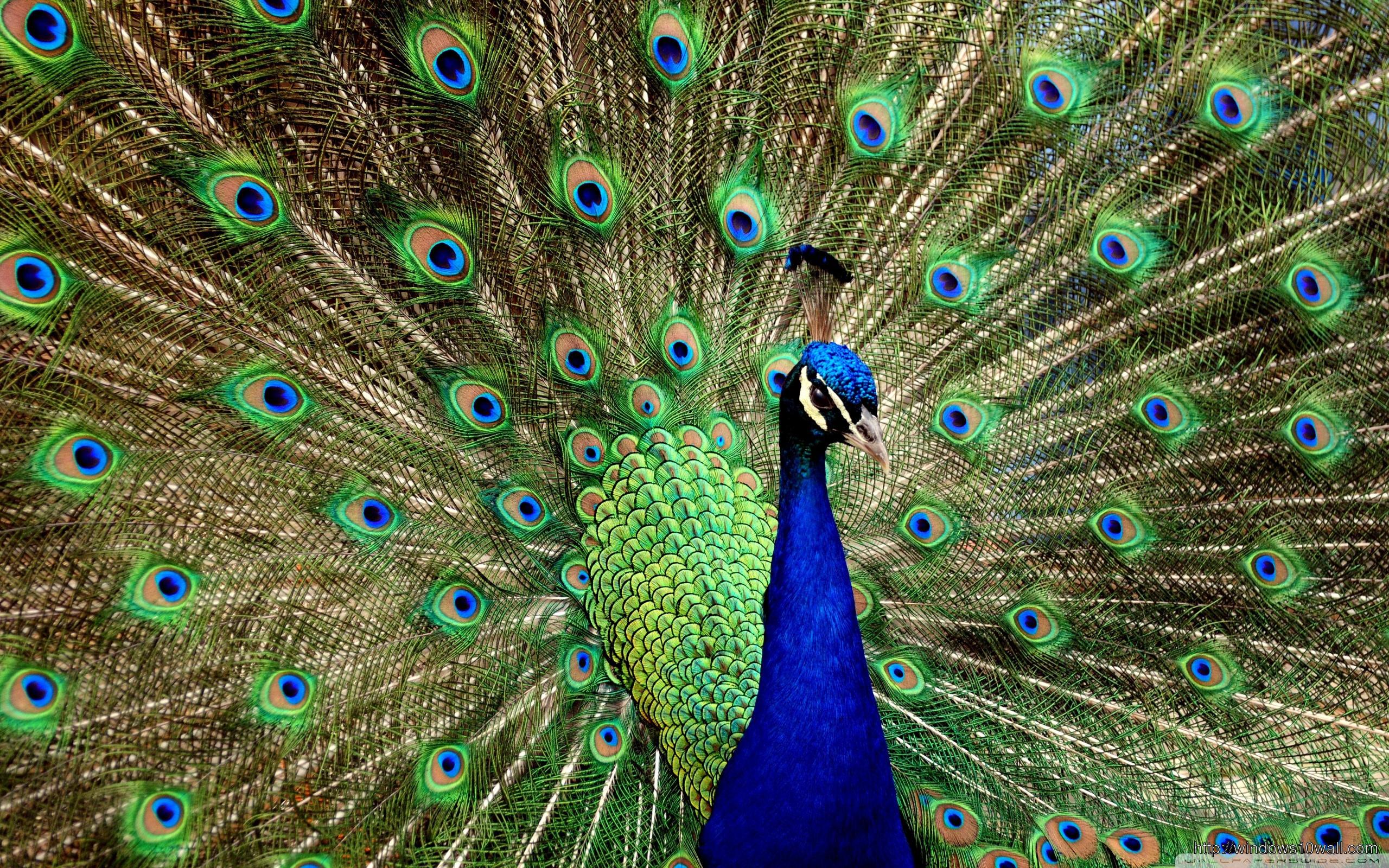 beautiful-peacock-wallpaper
