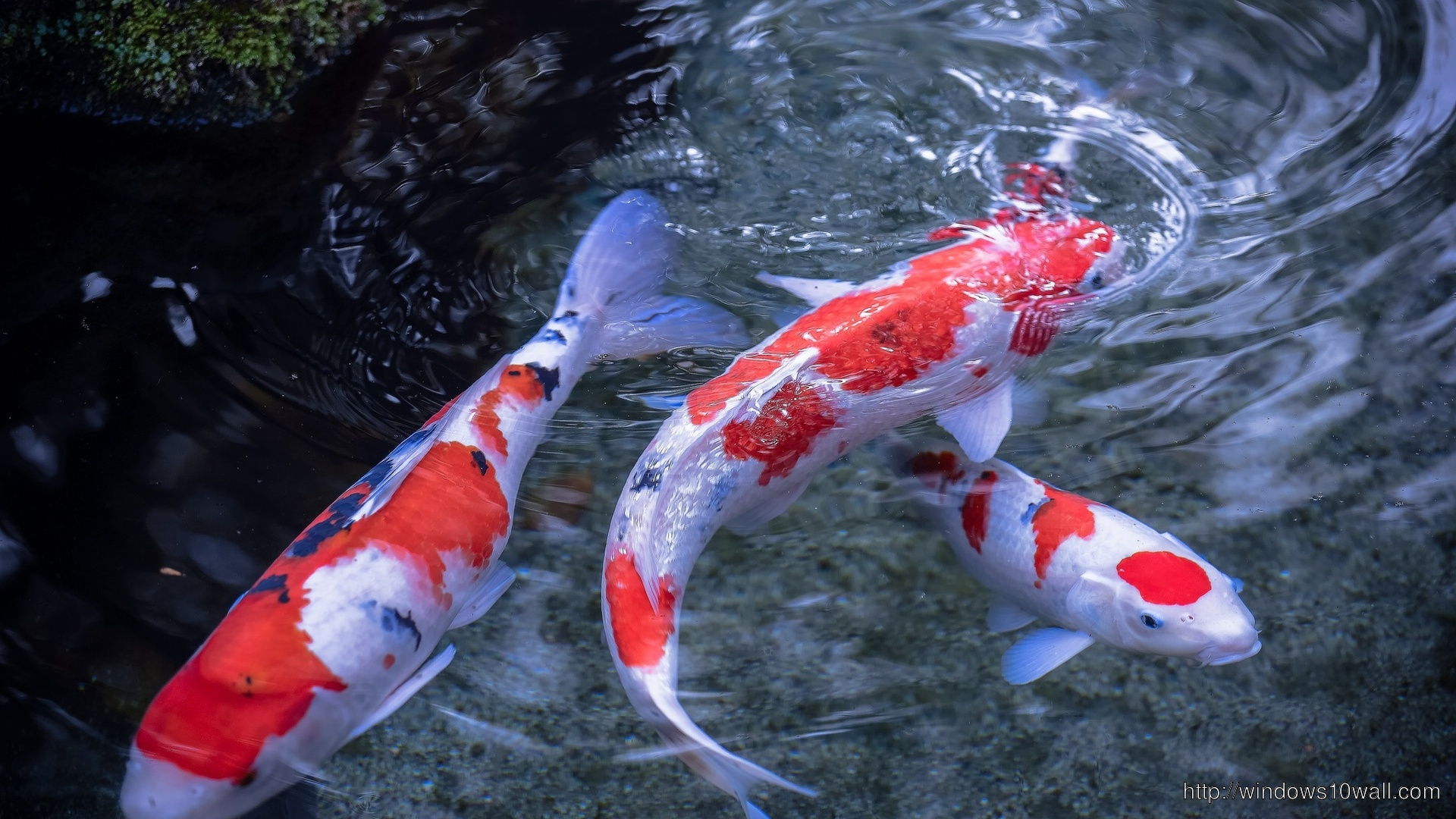 Beautiful page 2 windows 10 wallpapers for Red and white koi fish