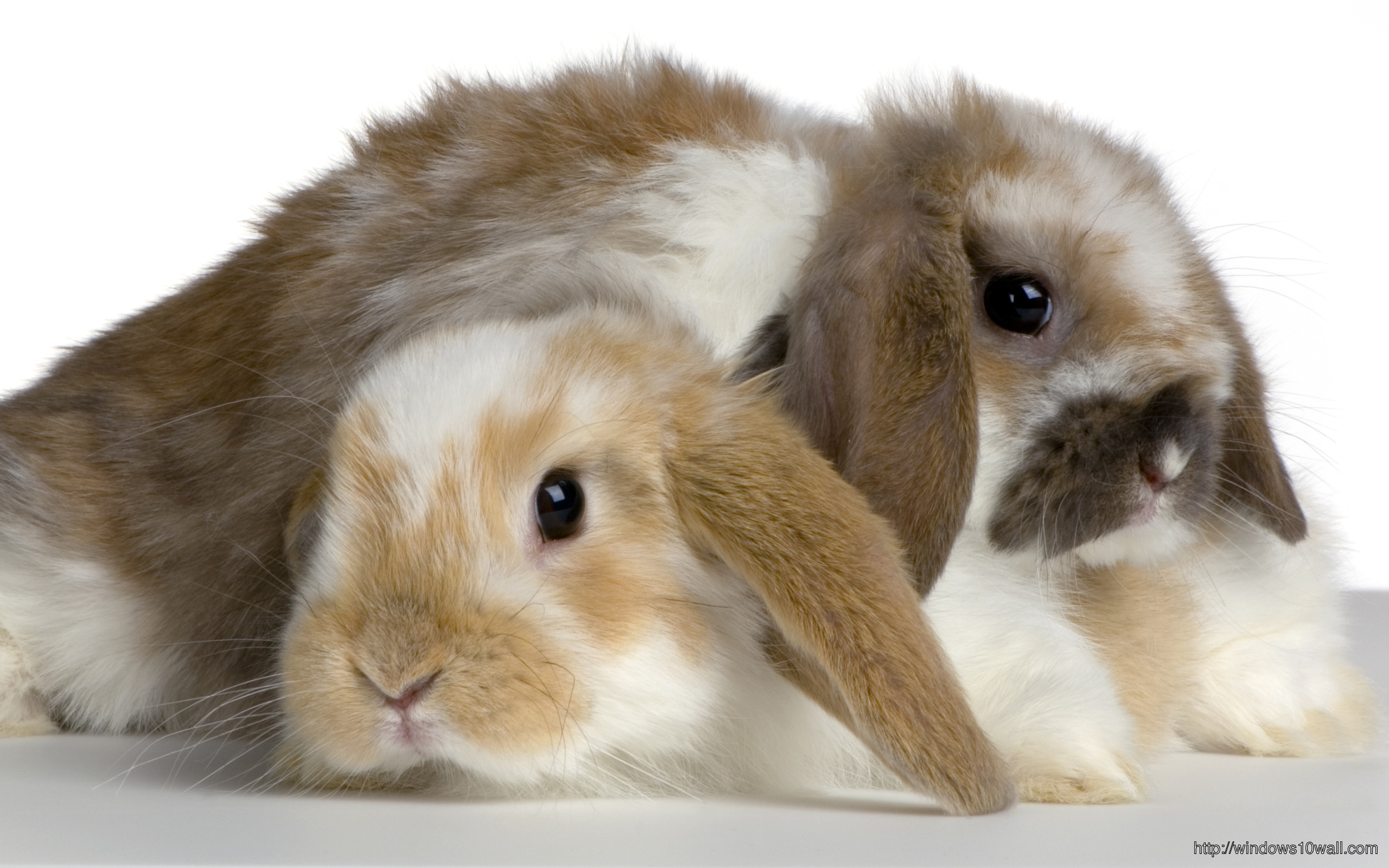 Couple Of Lop Rabbit In Front Of A White Background
